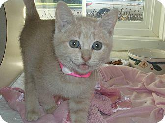 Domestic Shorthair Kitten for adoption in Gloucester, Virginia - HOTSY TOTSY