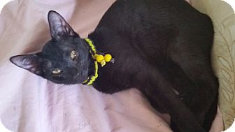 Domestic Shorthair Kitten for adoption in Port Richey, Florida - Bella