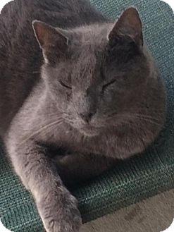 Russian Blue Cat for adoption in Thibodaux, Louisiana - Coal FE1-9209