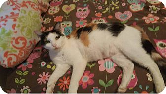 Calico Cat for adoption in Wichita, Kansas - Pebbles