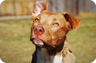 American Pit Bull Terrier/Catahoula Leopard Dog Mix Puppy for adoption in Dayton, Ohio - Panther