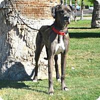 Adopt A Pet :: Holli - Goodyear, AZ