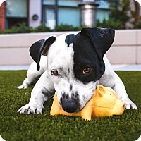 Adopt A Pet :: Huey - Pitt Meadows, BC