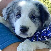 Adopt A Pet :: Cameron merle pup - Sacramento, CA