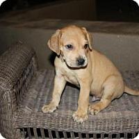 Adopt A Pet :: Rossi - Gilbert, AZ