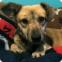 Adopt A Pet :: Belle - Wappingers, NY