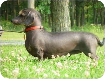 Chinese Crested/Dachshund Mix Dog for adoption in North Judson, Indiana - Atticus