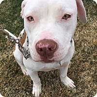 American Bulldog Mix Puppy for adoption in Fort Collins, Colorado - Porter