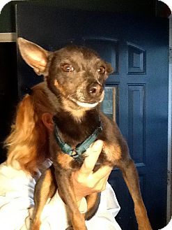 Miniature Pinscher/Chihuahua Mix Dog for adoption in Columbia Heights, Minnesota - Yoda
