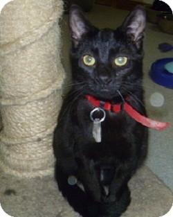 Domestic Shorthair Cat for adoption in Hamburg, New York - Jackson