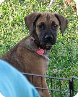Great Dane/German Shepherd Dog Mix Puppy for adoption in Torrance, California - VINNY