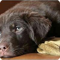 Adopt A Pet :: Leah - Rigaud, QC