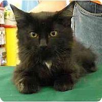 Adopt A Pet :: Pudding - Lombard, IL