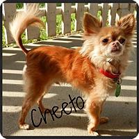 Adopt A Pet :: Cheeto - Orange, CA
