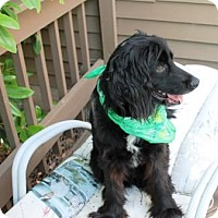 Flat-Coated Retriever/Retriever (Unknown Type) Mix Dog for adoption in Solebury, Pennsylvania - Buddy