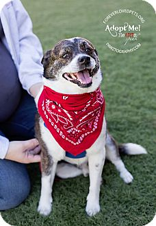 Cattle Dog/Boston Terrier Mix Dog for adoption in Scottsdale, Arizona - Scruffy