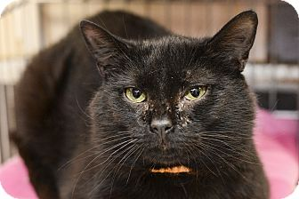 Domestic Shorthair Cat for adoption in Whitehall, Pennsylvania - Paw McCartney