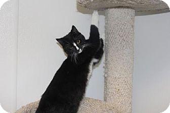 Domestic Shorthair Kitten for adoption in Greensboro, North Carolina - Balthasar