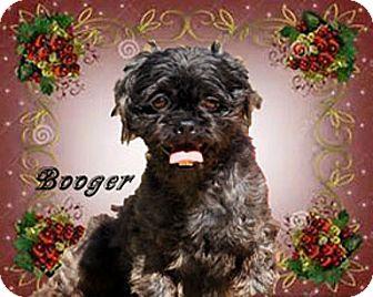 Shih Tzu Dog for adoption in Marion, North Carolina - Booger