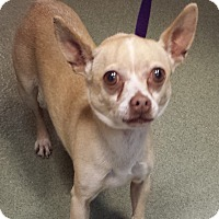 Chihuahua Dog for adoption in Westminster, California - Ramona
