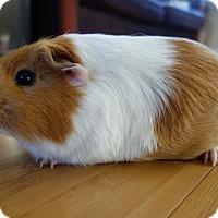 Adopt A Pet :: Belina - Fullerton, CA
