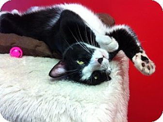 Domestic Shorthair Cat for adoption in Topeka, Kansas - Oreo