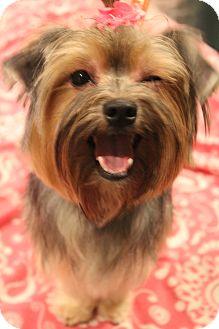 Yorkie, Yorkshire Terrier/Maltese Mix Dog for adoption in Hamburg, Pennsylvania - Daisy Mae