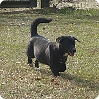 Adopt A Pet :: Stumpy - Camden, SC