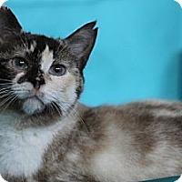 Adopt A Pet :: Souffle - Alexandria, VA