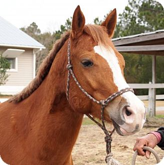 Quarterhorse Mix for adoption in Freeport, Florida - Honey (chestnut)