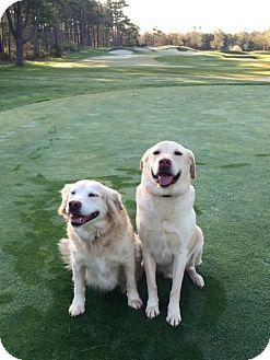 Labrador Retriever/Golden Retriever Mix Dog for adoption in Worcester, Massachusetts - DiXiE