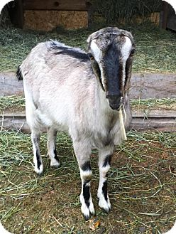 Goat for adoption in Maple Valley, Washington - Opehlia & Lula