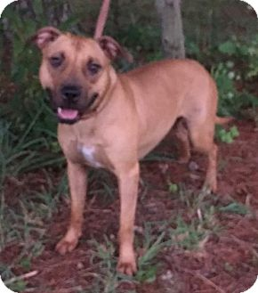 Pit Bull Terrier/Shar Pei Mix Puppy for adoption in Fulton, Missouri - Scarlet - Indiana