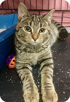 Domestic Shorthair Cat for adoption in Webster, Massachusetts - Prim