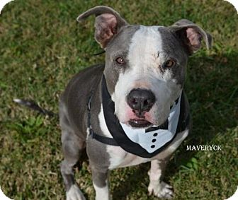 Pit Bull Terrier Dog for adoption in Independence, Missouri - Maveryck