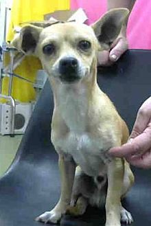 Chihuahua Dog for adoption in Seattle, Washington - Junior Bell