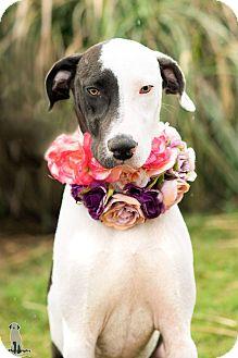 Labrador Retriever/Great Dane Mix Dog for adoption in Fort Atkinson, Wisconsin - Evie