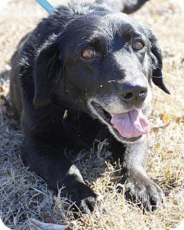 Labrador Retriever/Basset Hound Mix Dog for adoption in Mayflower, Arkansas - Avery