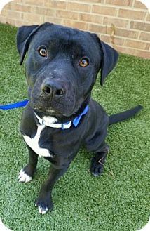 Labrador Retriever/Pit Bull Terrier Mix Dog for adoption in Germantown, Tennessee - Indy