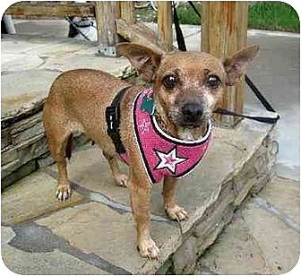 Chihuahua Dog for adoption in El Segundo, California - Willow