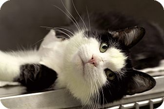 Domestic Shorthair Cat for adoption in Chicago, Illinois - Love