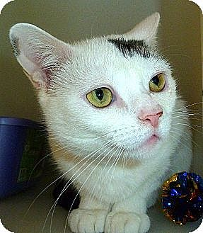 Domestic Shorthair Cat for adoption in Carmel, New York - Cheryl