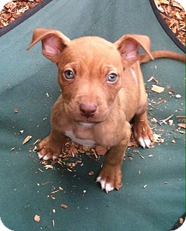 American Pit Bull Terrier Puppy for adoption in Starkville, Mississippi - Pebbles