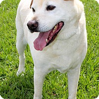 Spitz (Unknown Type, Medium)/Shar Pei Mix Dog for adoption in Myakka City, Florida - Harley