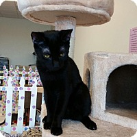 Domestic Shorthair Cat for adoption in Maryville, Tennessee - Salem