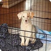 Adopt A Pet :: Butterscotch - Marlton, NJ