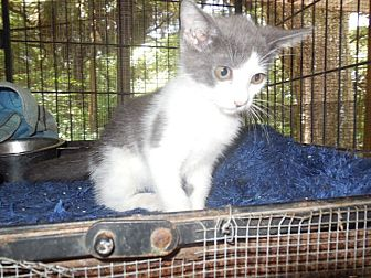 Domestic Shorthair Kitten for adoption in Old Town, Florida - Ribbons