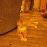 Adopt A Pet :: Lynus - el mirage, AZ