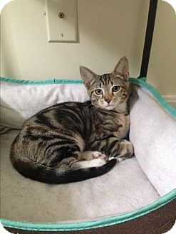 Polydactyl/Hemingway Kitten for adoption in Gettysburg, Pennsylvania - Minnie
