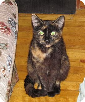 Domestic Shorthair Cat for adoption in Montreal, Quebec - Princess